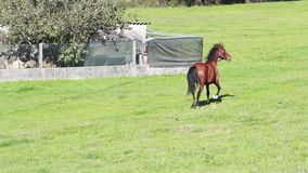 Horse running in a circle stock video footage