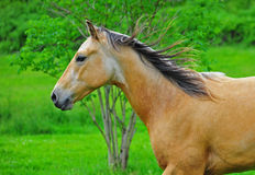 Horse running close up. A close up of chestnut stallion running with a tree and lush green grass in the back ground royalty free stock photography