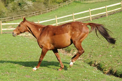 A horse running in field Royalty Free Stock Photo