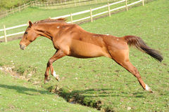A horse running in field Stock Image