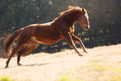 Horse running field Royalty Free Stock Photos