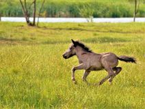 horse running in the field royalty free stock photo