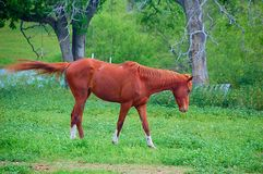 Horse running in field. Horse moving in pasture Royalty Free Stock Photos
