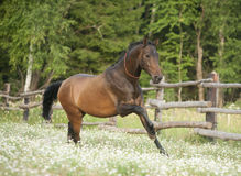 Horse running at field in summer Stock Image