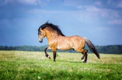 Horse running free on the pasture. Purebred red horse running free on the summer pasture royalty free stock photography