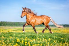 Horse running free on the pasture. Purebred red horse running free on the summer pasture stock photo