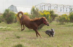 Horse running with the gray dog Stock Images