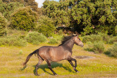 Horse running in a green field Royalty Free Stock Images
