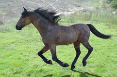 Horse running through green grassy fields Stock Photography