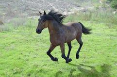 Horse running through green grassy fields Stock Photos