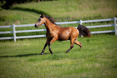 Horse running on hill in fenced pasture Royalty Free Stock Photography