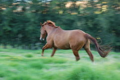 Horse running through long grass Stock Photos