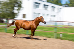 Horse running at the paddock Stock Photography
