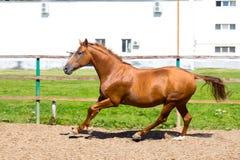 Horse running at the paddock Stock Photo
