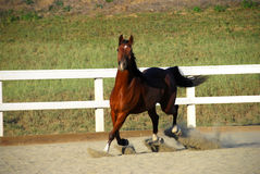 Horse running without rider on dirt Royalty Free Stock Photo