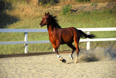 Horse running without rider on dirt Stock Photo