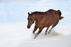 Horse running in snow. With clouds and a blue sky Royalty Free Stock Photo