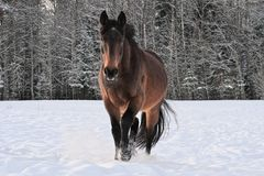 Horse running in snow covered paddock royalty free stock images