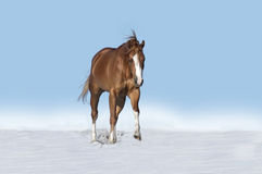 Horse running in snow. Isolated horse running in snow with a blue sky Stock Images