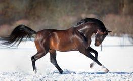 Horse running in the snow. Trakehner bay horse running in the snow in winter Stock Photos