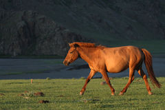 Horse running in Sunset Stock Image