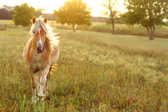 Horse Running at Sunset Royalty Free Stock Photo