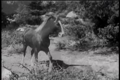 Horse running to get help for injured colt stock footage