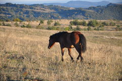 Horse running trot on pasture Royalty Free Stock Photography