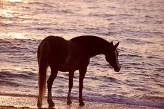 Horse running through water Stock Image