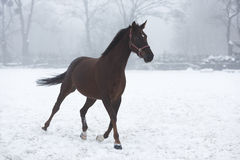 Horse running in winter Royalty Free Stock Images