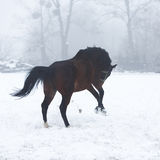 Horse running in winter Royalty Free Stock Photography