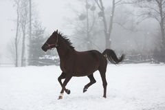 Horse running in winter Stock Image