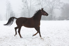 Horse running in winter Royalty Free Stock Image