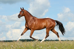 Horse runs Royalty Free Stock Photo