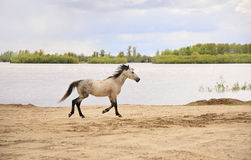 Horse runs along the river. Horse runs to the river Stock Image