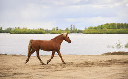 Horse runs along the river. Horse runs to the river Stock Images