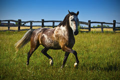 Horse runs gallop in summer time Royalty Free Stock Photography