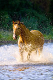 Horse runs gallop in water in summer time Stock Images