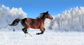 Horse. Runs gallop on the winter field Stock Photo
