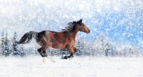 Horse runs gallop Royalty Free Stock Images
