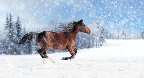 Horse runs gallop Stock Image