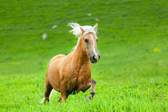 Horse runs Royalty Free Stock Image