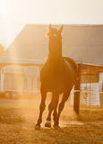 Horse runs in paddock with sunset back light Stock Photography