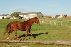 Horse runs on pasture. Brown horse running through the pasture Royalty Free Stock Images