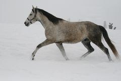 The horse runs at a trot in the winter on a snowy slope. royalty free stock images