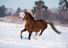 Horse runs in winter Stock Images