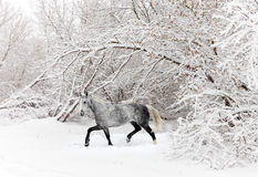 Horse runs in winter forest Stock Photos