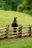 Horse and rustic fence. Vertical of horse looking over fence Royalty Free Stock Photography