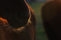 Horse's beard. A horse's beard on evening sun stock image