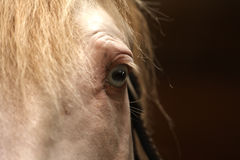 Horse's blue eye. Close-up of a cremello Lusitano stallion with blues eyes and halter on royalty free stock photos